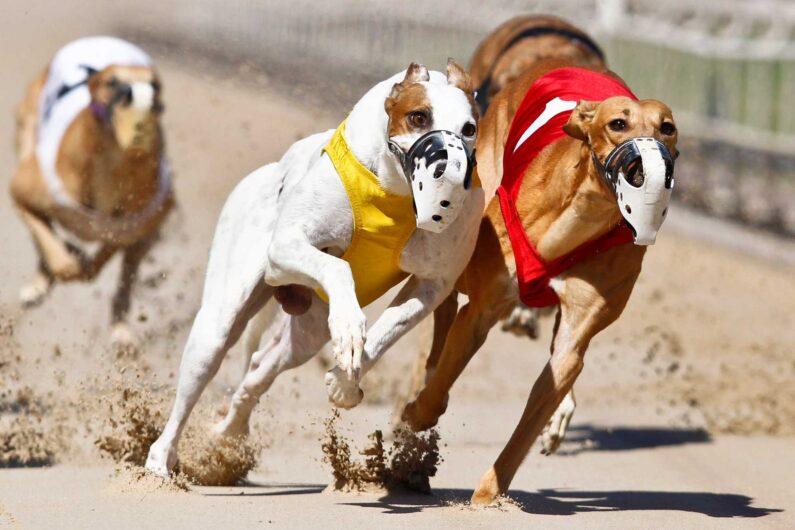 Hipercasino Köpek Yarışları Kazanma Taktikleri Nedir?